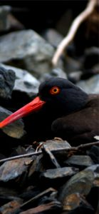 赤いくちばしの黒い鳥