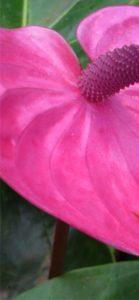 ピンクのアンスリウム1