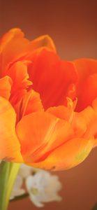 オレンジのチューリップ2