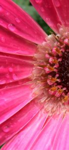 ピンクのガーベラ1