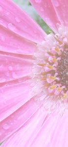 ピンクのガーベラ2
