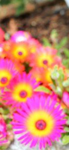 ピンクと黄色の花1