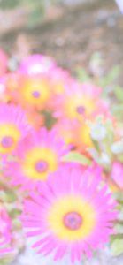 ピンクと黄色の花2