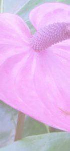 ピンクのアンスリウム2