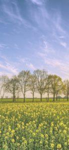 菜の花畑と並んだ木2