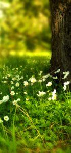 野原の白い花1