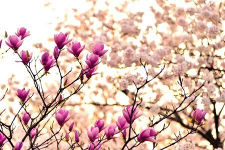 iPhone8・7・6・6SPlusロック画面等のシンプルな春の無料壁紙・待ち受け