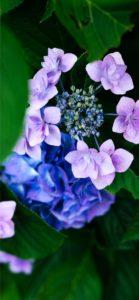 紫とピンクのあじさい1
