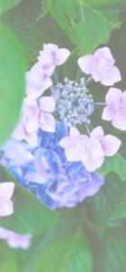 紫とピンクのあじさい2