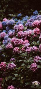 紫とピンクのあじさい3