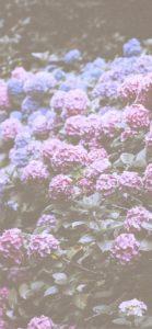紫とピンクのあじさい4