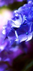 紫色のあじさい1