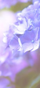 紫色のあじさい2