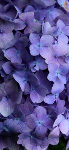 紫色のあじさい4