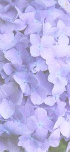 紫色のあじさい3
