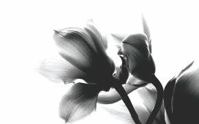 白い背景にモノクロの花