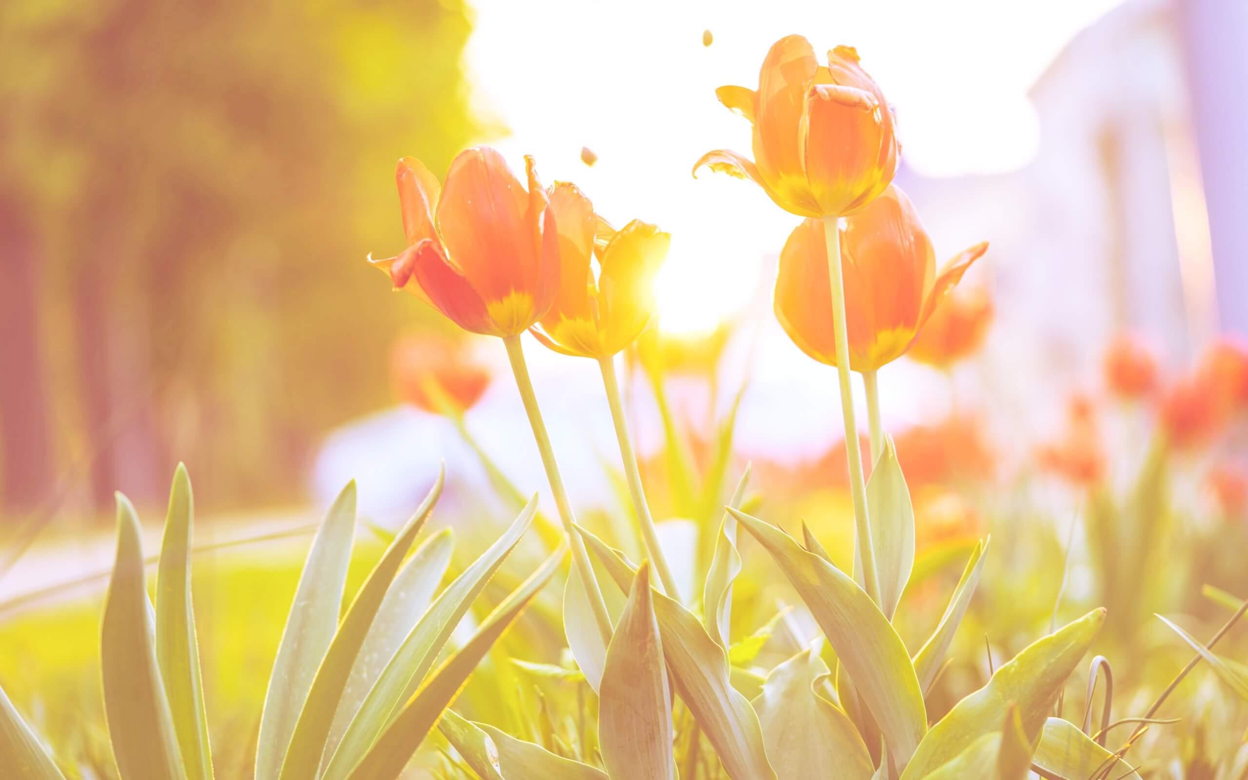 春の日差しとチューリップ2