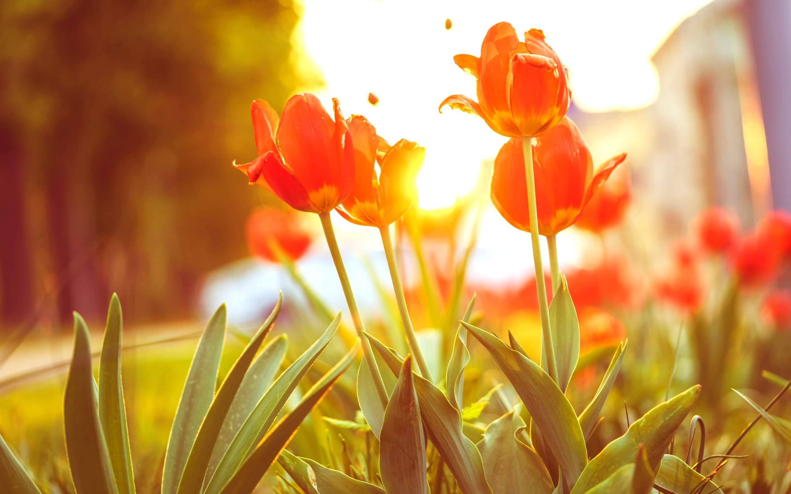 春の日差しとチューリップ1