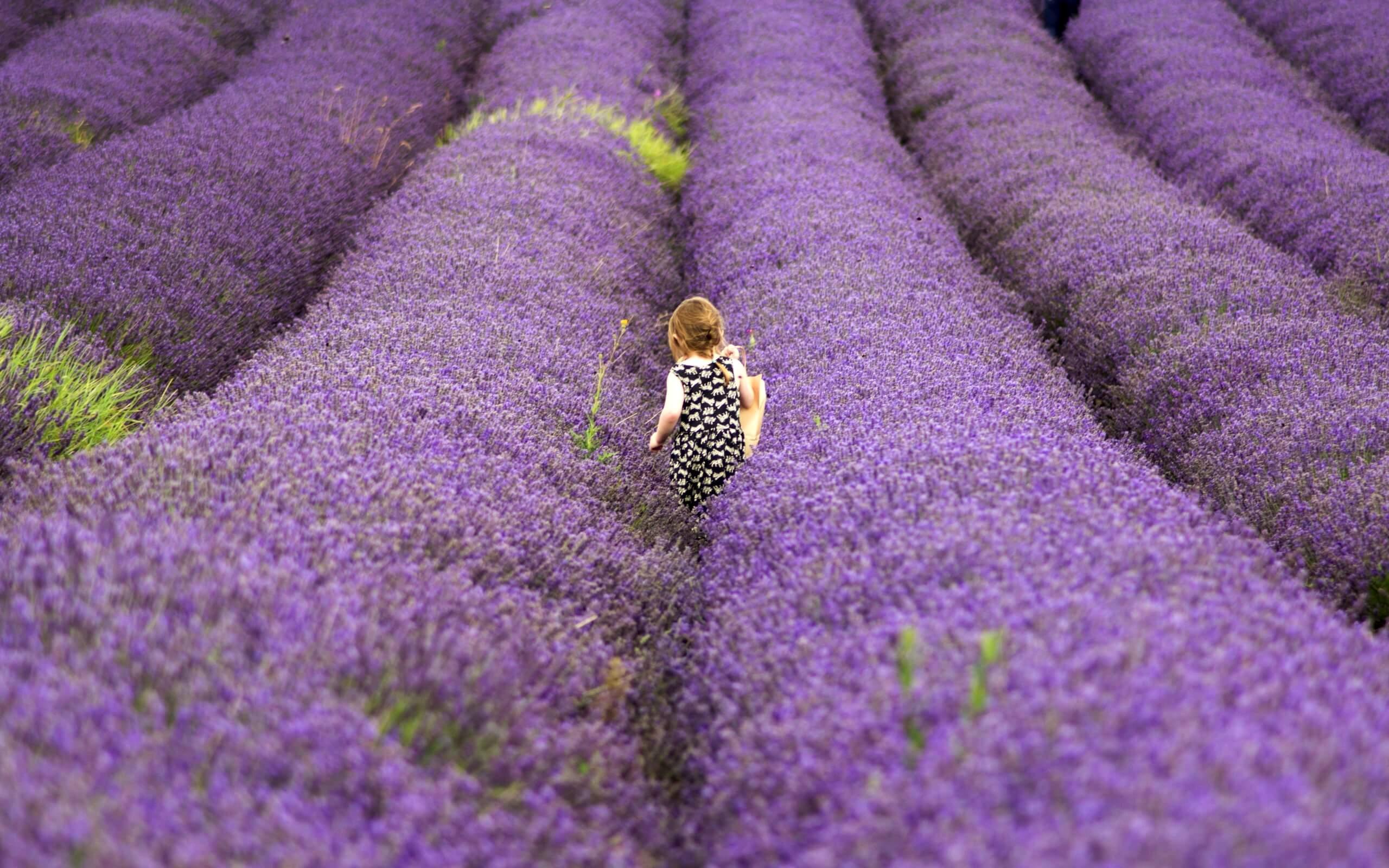 ラベンダー畑の小さい女の子
