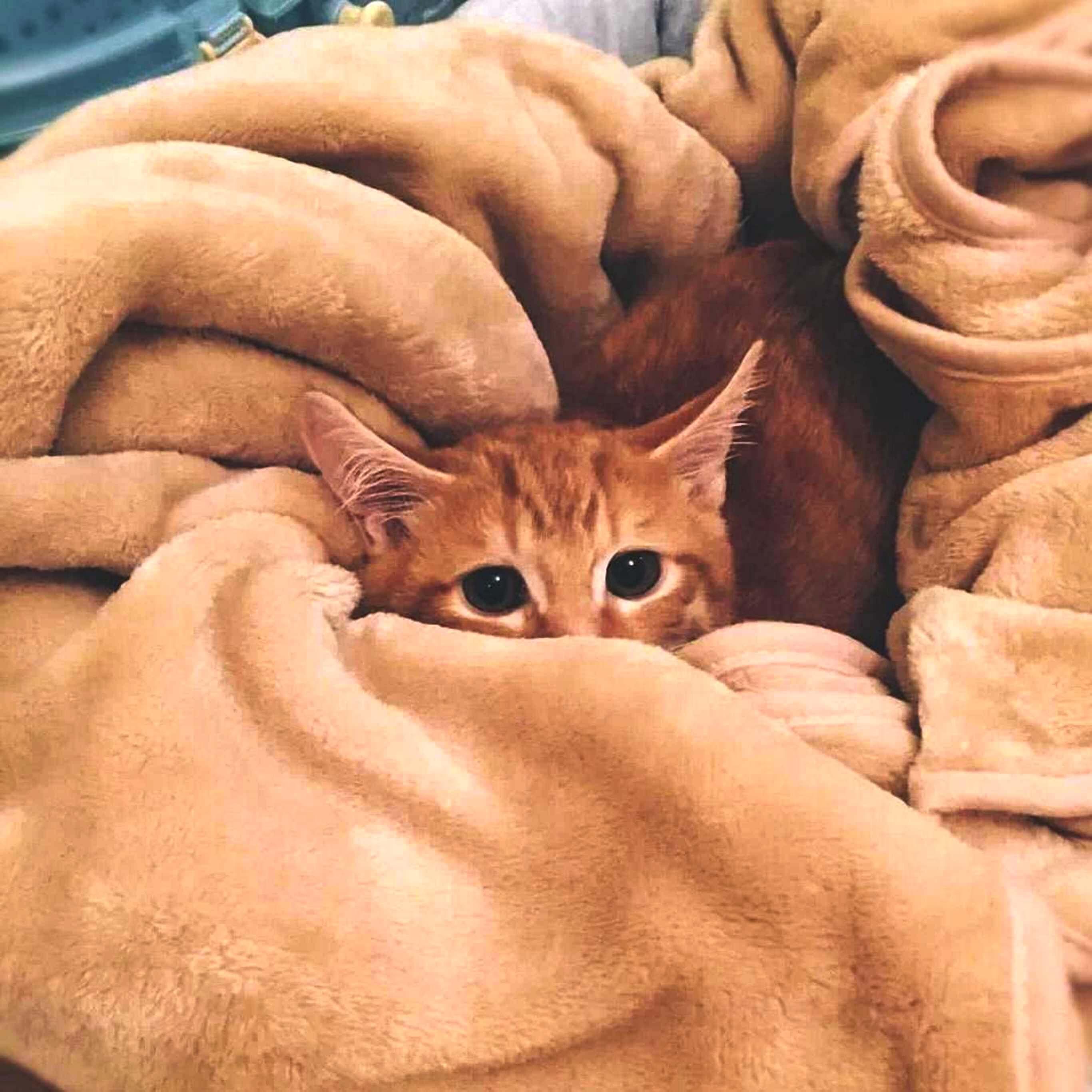 毛布に埋もれた猫