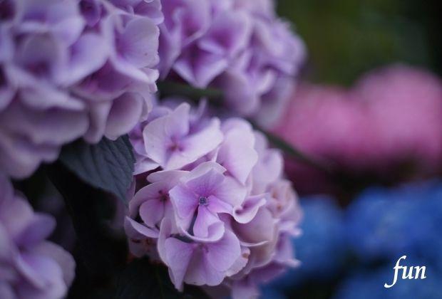 iPadPro12.9インチロック画面等の花の無料壁紙・待受けを配信中