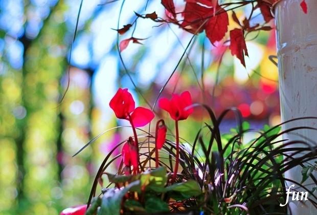 iPhone11ProMax・XsMaxロック画面等の花の壁紙が取り放題